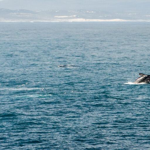 К китам из КейпТауна в Херманус
