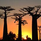 Знаменитая аллея. Это неГолливуд, детка. Здесь нет звезд. Это Мадагаскар. Здесь растут баобабы.