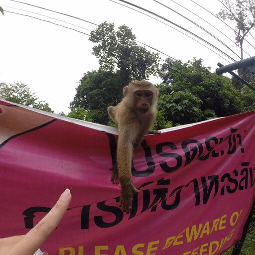 Мартышки острова Пхукет — Таиланд — Phuket — Thailand