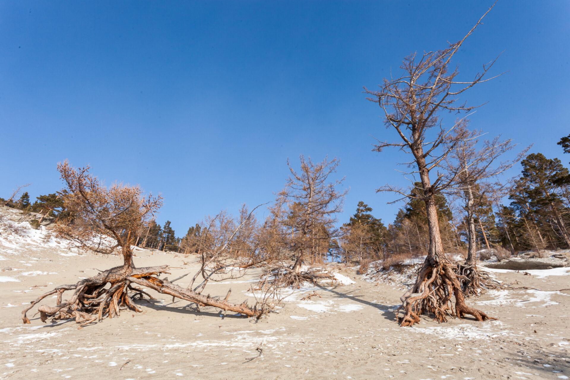 Ходульные деревья