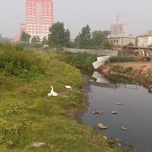 Гуси и утки в Красноярске