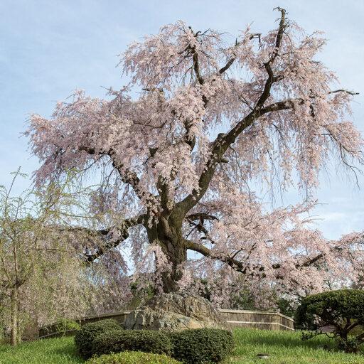 Прогулки по Киото: Где найти сакуру