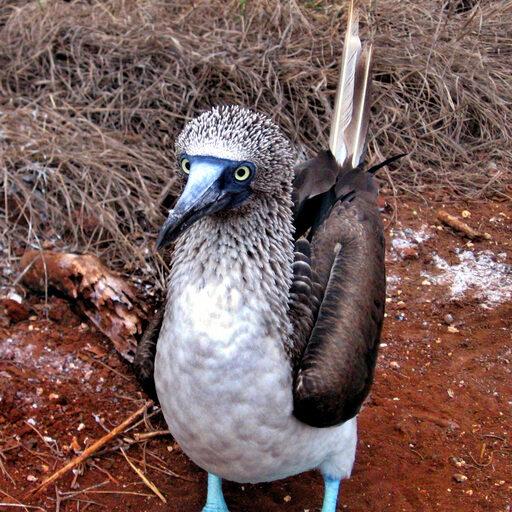Олуши. Парадокс природы. Чем голубее, тем больше мужик.